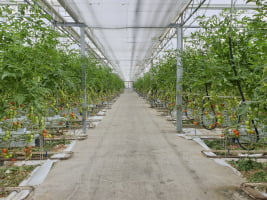 inside of a commercial tomato greenhouse