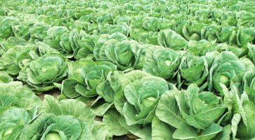 closeup view of field of cabbages